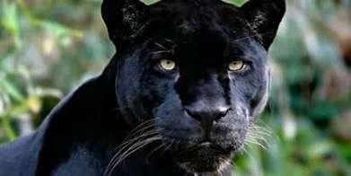 une-panthere-noire-aurait-ete-apercue-dans-les-alpes-maritimes
